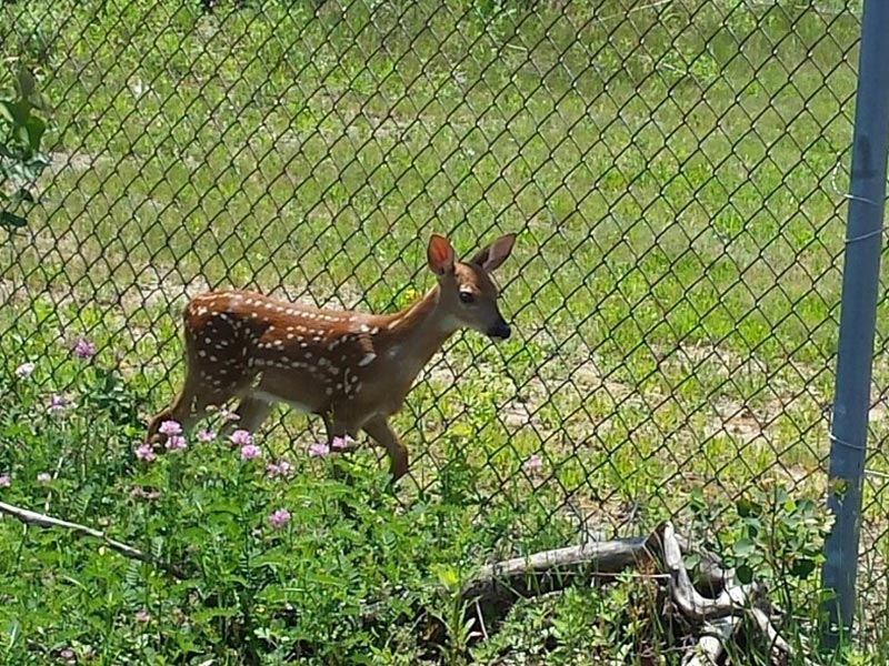 A deer in front of a fence