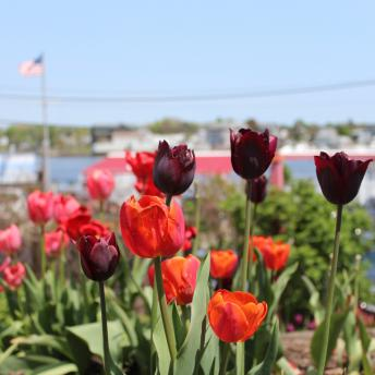 Tulips of Portsmouth