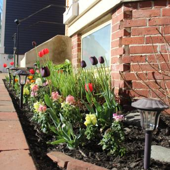 Marcy Street Tulips